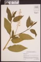 Phytolacca americana image