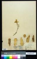 Image of Croton poitaei