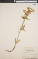 Phlox carolina var. triflora image