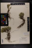 Bryodesma acanthonota image