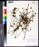 Symphyotrichum patens image