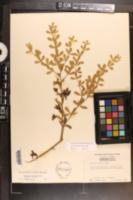 Image of Baptisia hirsuta