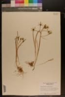 Ornithogalum umbellatum image