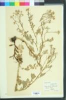 Image of Cardamine amara