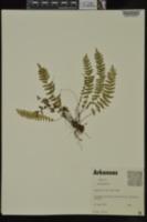 Asplenium resiliens image