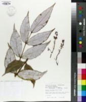 Mahonia gracilipes image