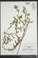 Heterotheca camporum var. glandulissima image