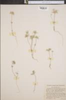 Image of Gilia ciliata