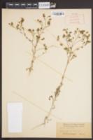 Image of Hemizonia wrightii