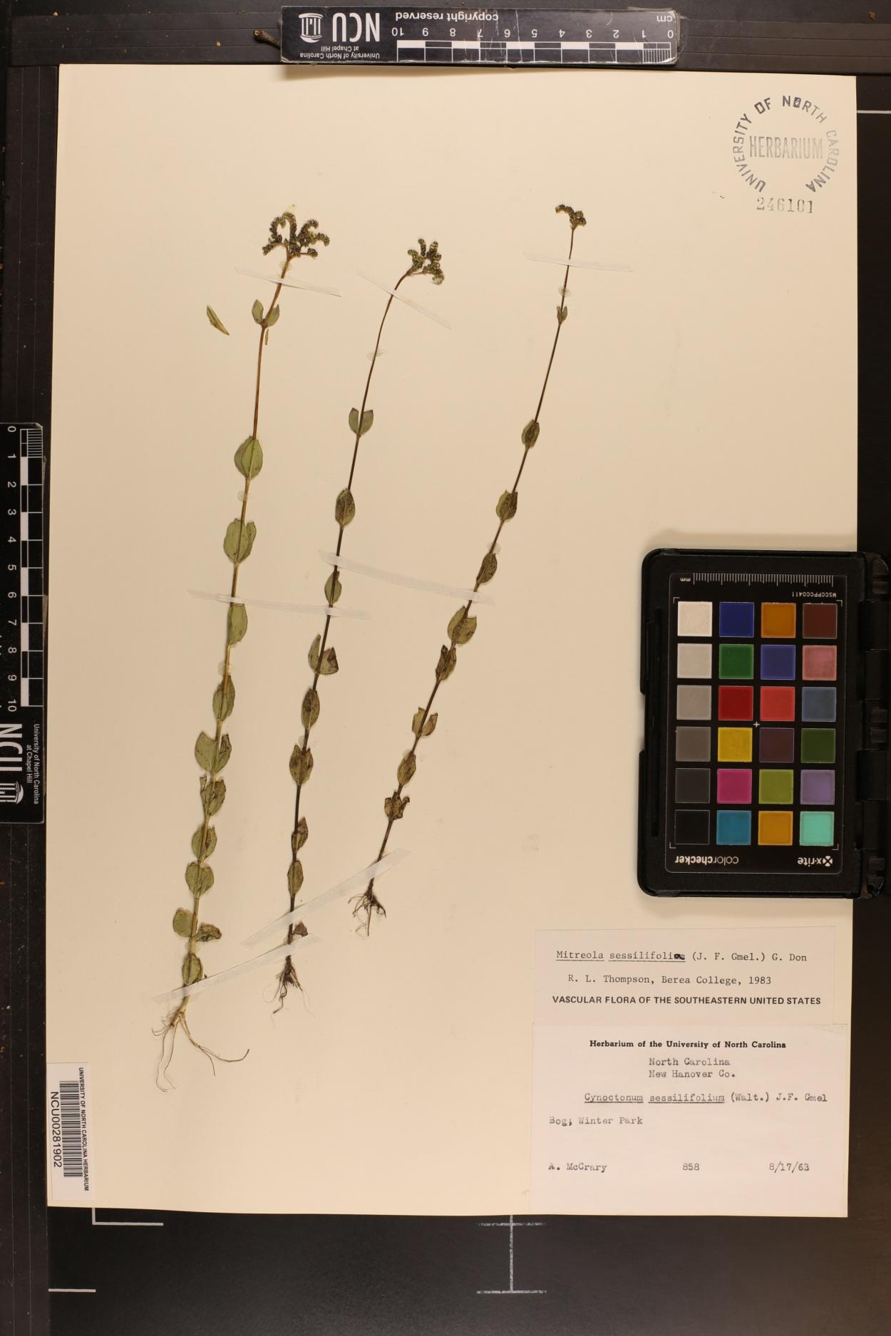 Mitreola sessilifolia image