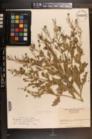 Sisymbrium turczaninowii image