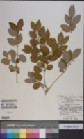 Image of Callicarpa oshimensis