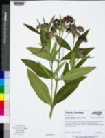 Asclepias incarnata subsp. pulchra image
