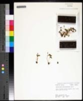 Ophioglossum crotalophoroides image