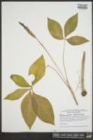 Arisaema quinatum image