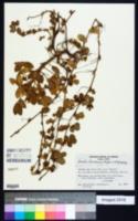Image of Arachis cardenasii