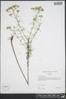 Eupatorium hyssopifolium image