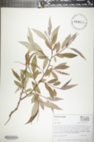 Image of Salix fragilis