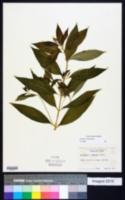 Image of Lysimachia commixta