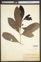 Image of Amphitecna latifolia