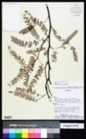Prosopis alba image