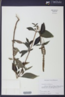 Image of Artemisia trifida