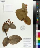 Image of Macleania pentaptera