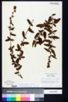 Image of Melochia spicata