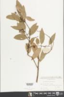 Cinnamomum burmannii image