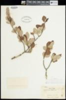 Image of Cercocarpus montanus