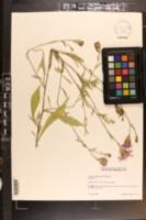 Centaurea nigrescens image