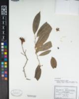 Celastrus tetramerus image