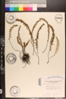 Myriopteris aurea image