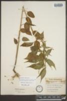 Campanulastrum americanum image