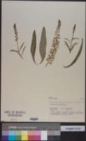 Image of Lysimachia ephemerum