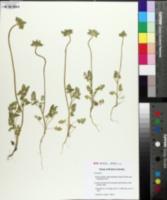 Caucalis platycarpos image