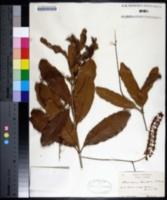 Macadamia ternifolia image