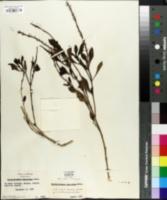Image of Stachytarpheta schottiana