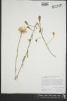 Image of Leucanthemum lacustre