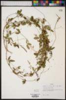 Galactia mollis image