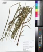 Carex trichocarpa image