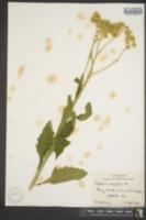 Verbesina microptera image