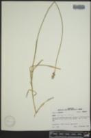 Carex longii image
