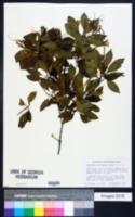Exostema caribaeum image