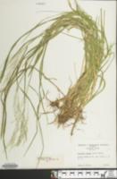 Glyceria striata image