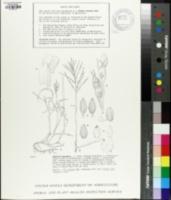 Digitaria abyssinica image