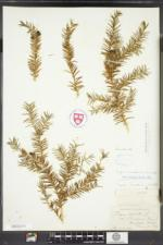 Taxus canadensis image