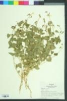 Image of Matelea pubiflora