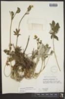Potentilla gracilis image