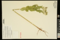 Euphorbia marginata image